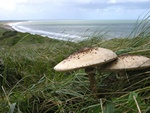 Parasol (Macrolepiota procera)